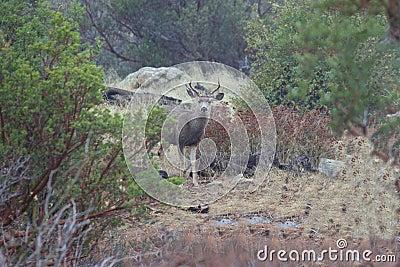 Male Blacktail Deer