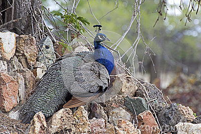 Male Blue Peacock Resting On Rocks