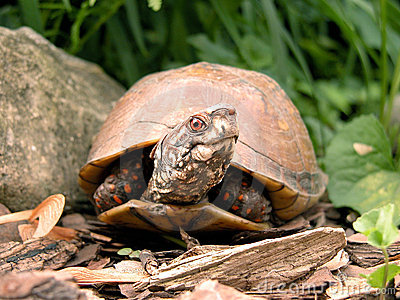 Male Box Turtle with Head Turned