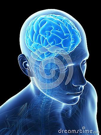 Male brain