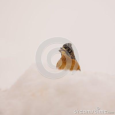 Brambling in the snow