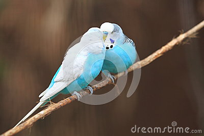Male budgerigars