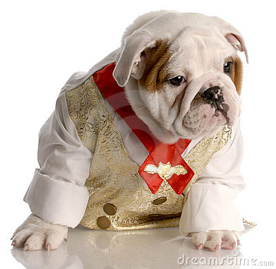 Male Bulldog Puppy In Shirt And Tie Royalty Free Stock Photo - Image