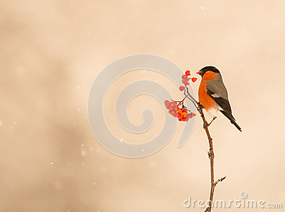 A male Bullfinch feeds on berries