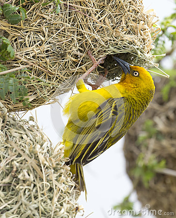 Free Male Cape Weaver Bird At Nest Stock Photos - 91593193