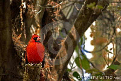 Bright Red Male Cardinal Bird