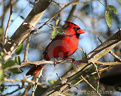 Male cardinal in southern Texas shrubland