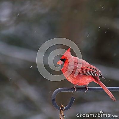Male Cardinal - Winter