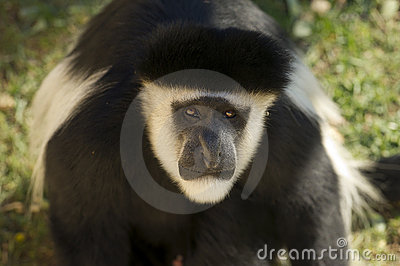 Male Colobe monkey daring
