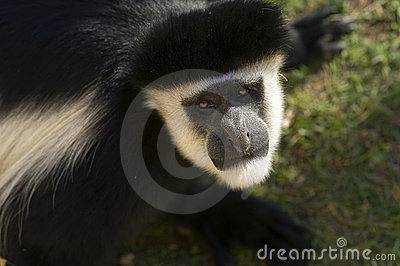 Male Colobe monkey starring