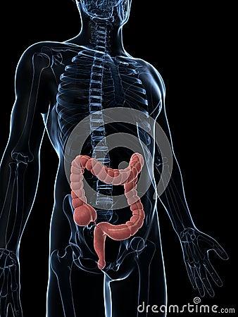 Male colon