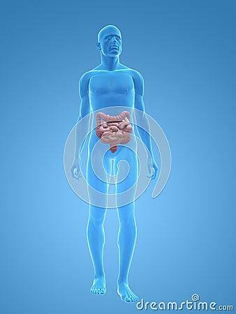 Male colon and intestines