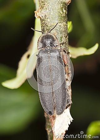 Male common glow-worm (Lampyris noctiluca)