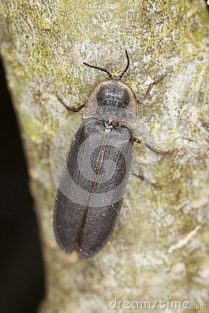 Male common glow-worm (Lampyris noctiluca)
