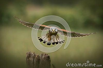 Male Common Kestrel flying towards the camera