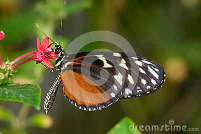 Male Common Mechanitis Butterfly