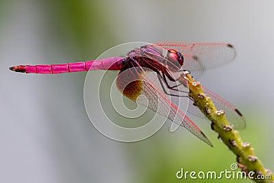 Male Crimson Marsh Glider