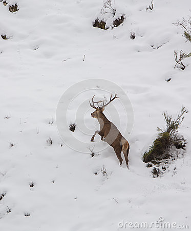 Male Deer on the run