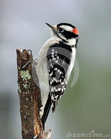 Free Male Downy Woodpecker Royalty Free Stock Photo - 47412755