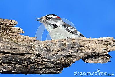 Male Downy Woodpecker (picoides pubescens)