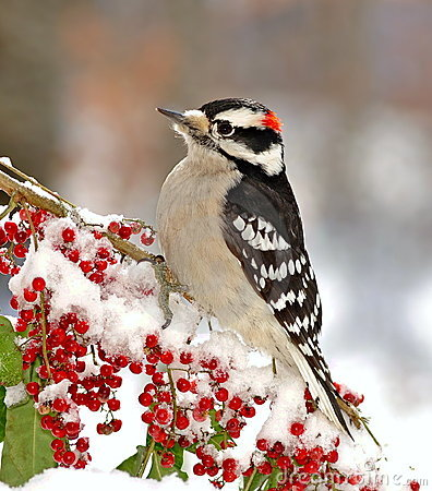 Free Male Downy Woodpecker (Picoides Pubescens) Stock Images - 23600714