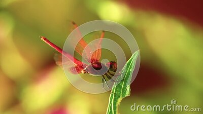 Male Dragonfly Red Scarlet Darter Insect Footage stock footage