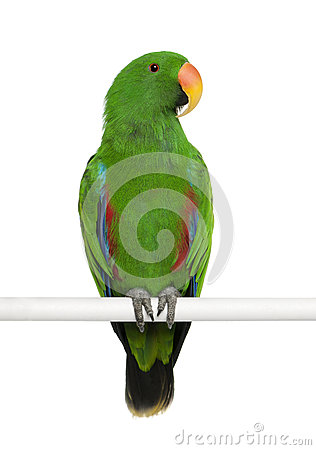Free Male Eclectus Parrot Stock Images - 24991494