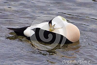 Male eider duck resting, lake Zurich Stock Photo