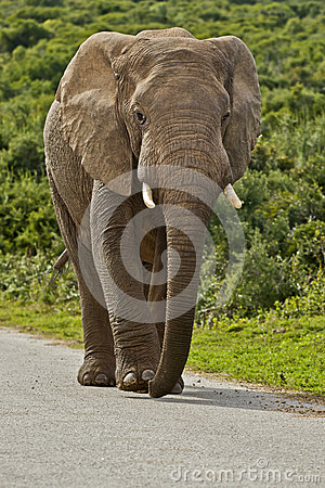 Male elephant on a tar road