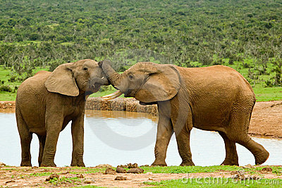 Male elephants