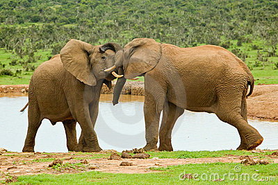 Male elephants sparing