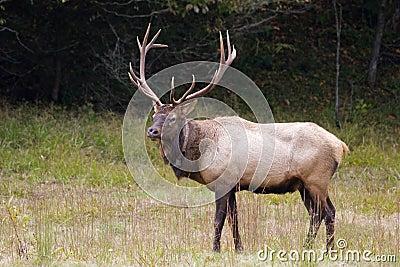 Male Elk in the Field