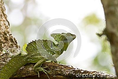 Male Emerald Basilisk
