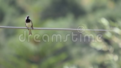 Eurasian tree sparrow sparrow on electric cable stock video footage