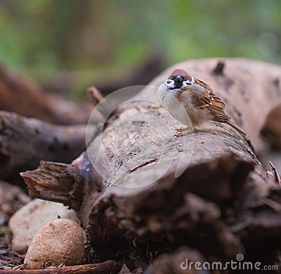 Male Eurasian Tree Sparrow on log