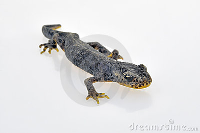 Male european alpine newt