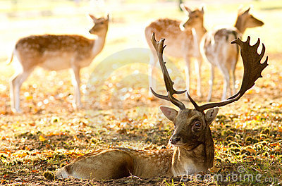 Male fallow with some hinds