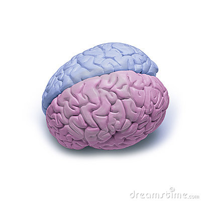 Free Male Female Brain Difference Gender Stock Photo - 7304880