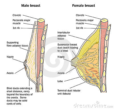 Male and female breast anatomy
