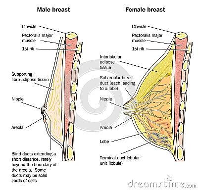 Male and female breast anatomy