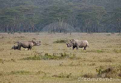 Male female and calf rhinos, Nakuru, Kenya.