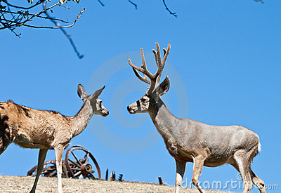 Male and female deer