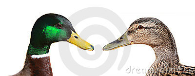 Male and Female Duck