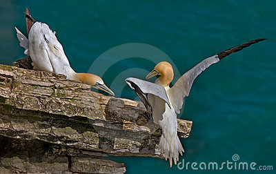 Male and female Gannets