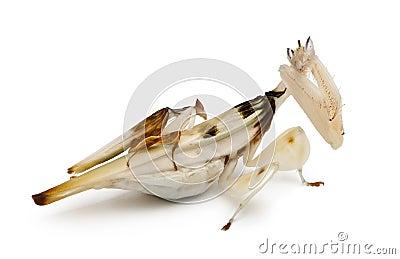 Male and female hymenopus coronatus