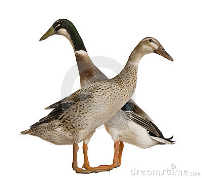 Male and female Indian Runner Duck, 3 years old