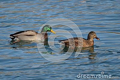 Male and female mallard duck - photo#18