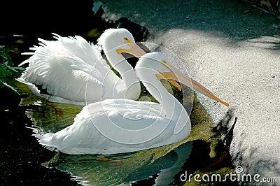 Male, and female pelican