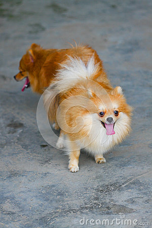 Male and female pomeranian dog mating, Mating of pet