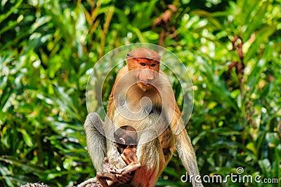 Male and female Proboscis Monkeys in the mangroves